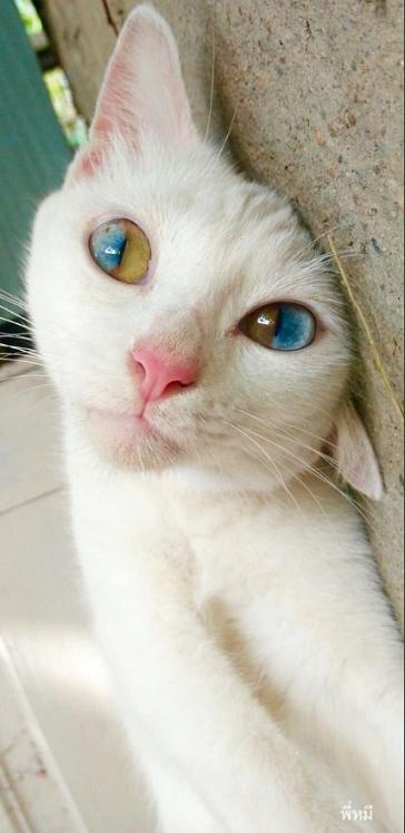 ダイクロイックアイの猫