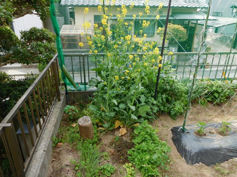 ss-生い茂る高菜