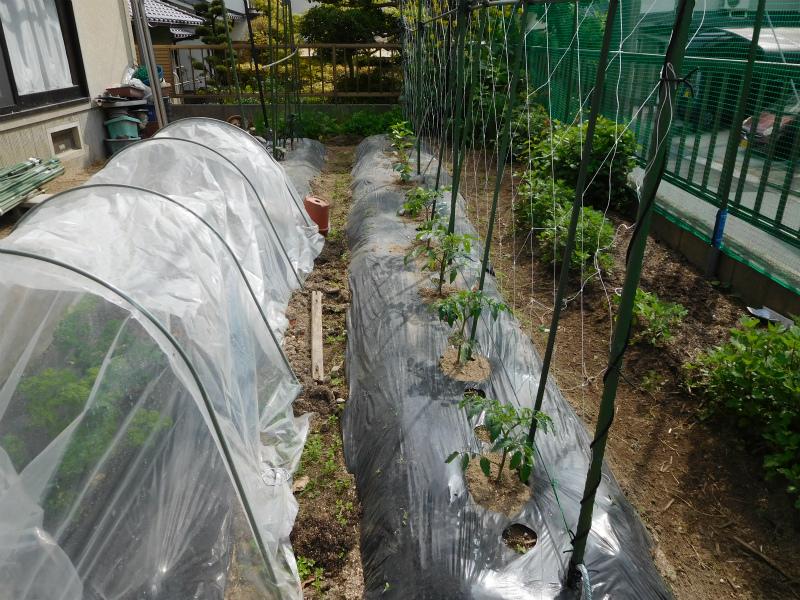 ss-苗の植え込みキュウリ