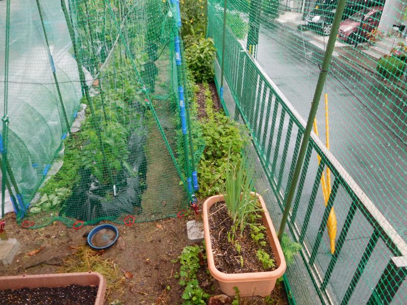 ss-水菜も植えてます