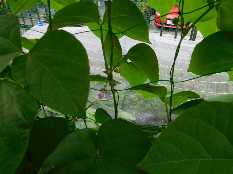 ss-えんどう豆の花
