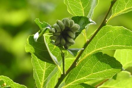 エゴノネコアシ
