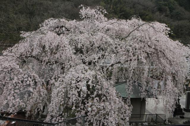 蓮照寺のしだれ桜