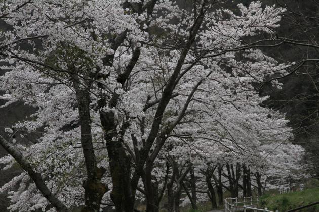 西城の桜並木