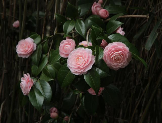 西城の桜並木のそばのつばき