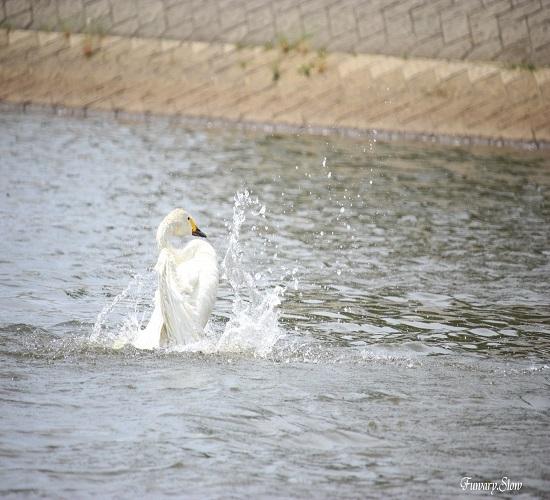 Swan20180609b.jpg