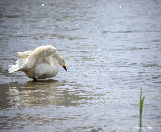 Swan20180613a.jpg