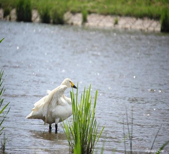 Swan20180613b.jpg