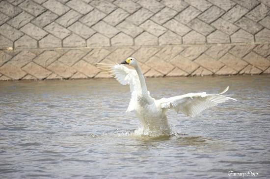 Swan20180613c.jpg