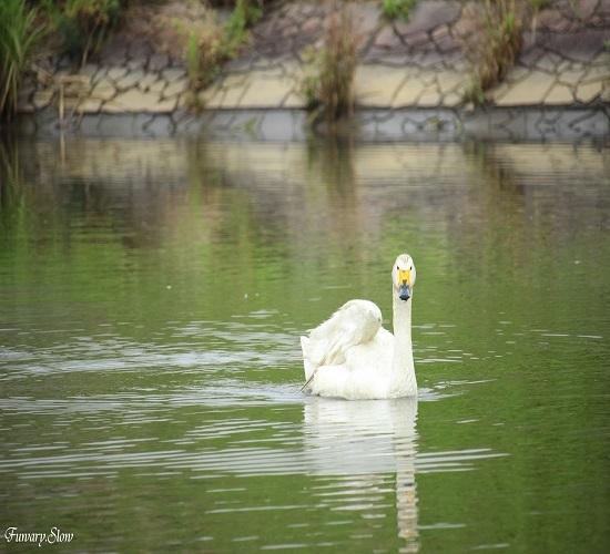 Swan20180712a.jpg