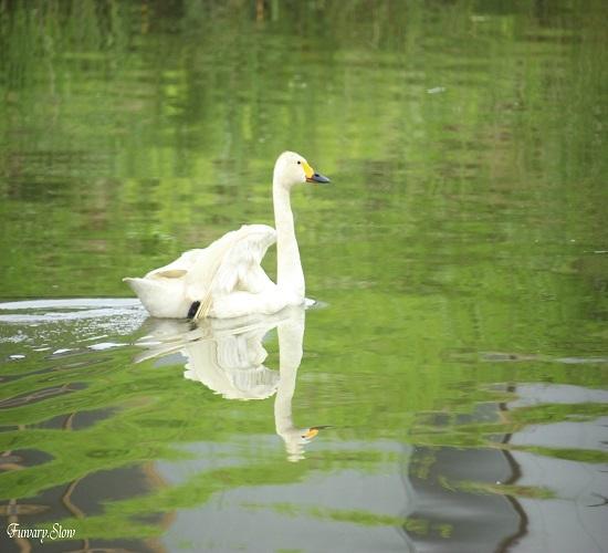 Swan20180712c.jpg