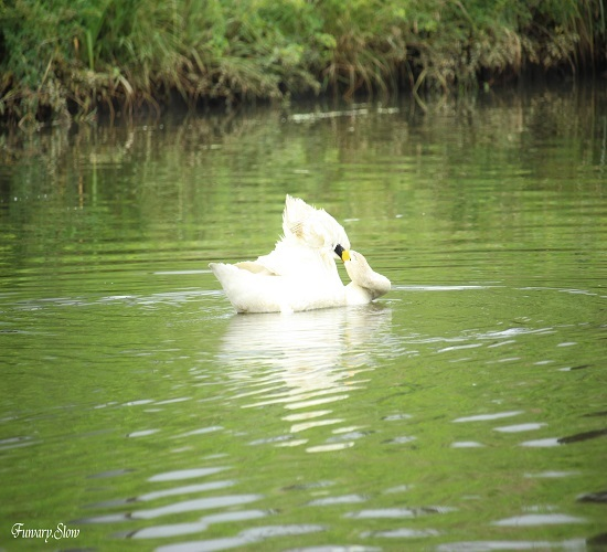 Swan20180712d.jpg