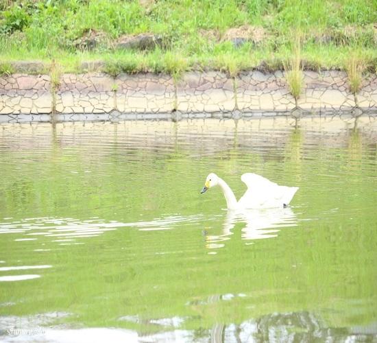 Swan20180712e.jpg