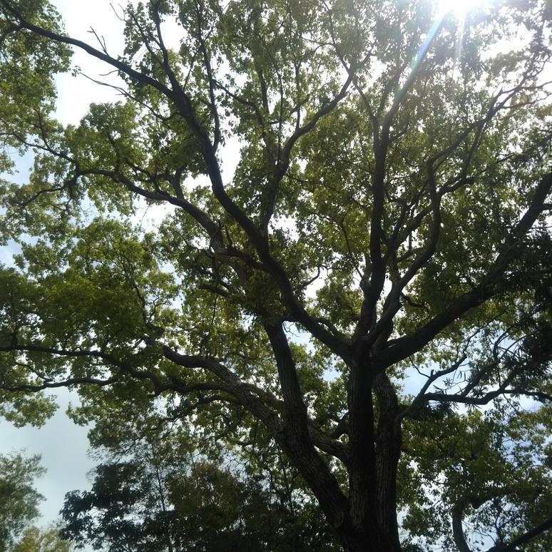 Camphor tree 20180411