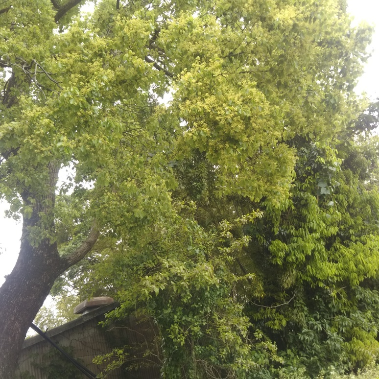 Camphor tree 20180430