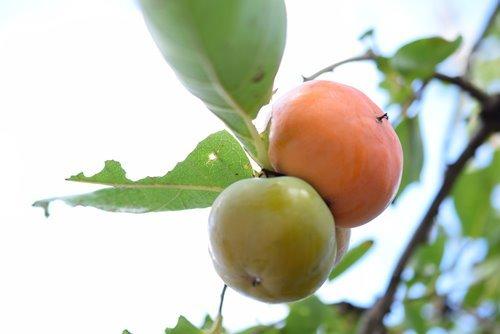 180829 柿