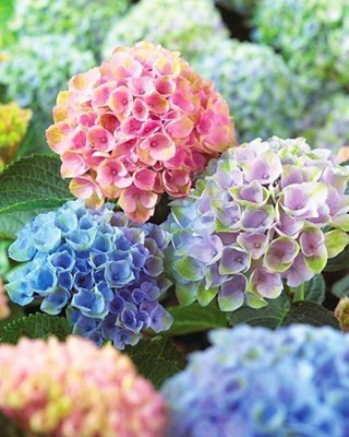 s-③紫陽花