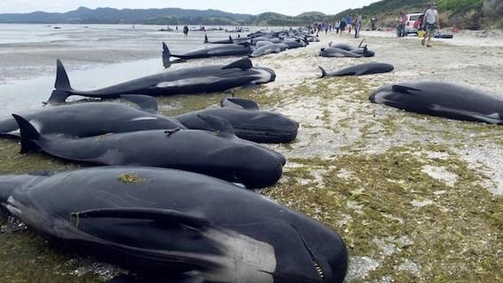 ゴールデン湾で400頭のクジラ