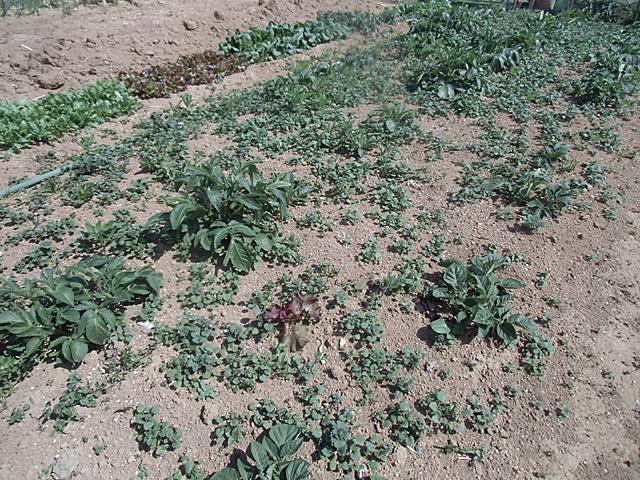 草だらけのジャガイモ
