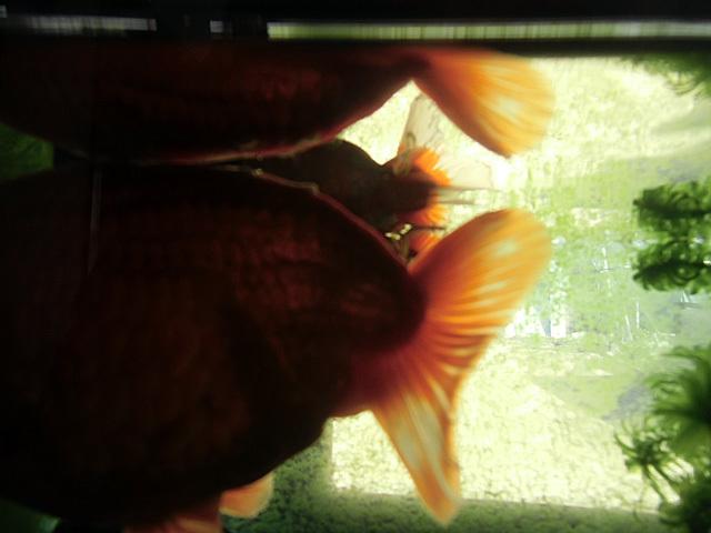 瀕死の金魚