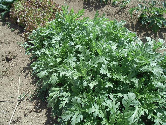 青々と茂る葉物野菜