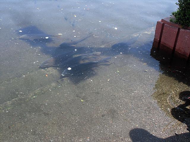駐車場の鯉たち