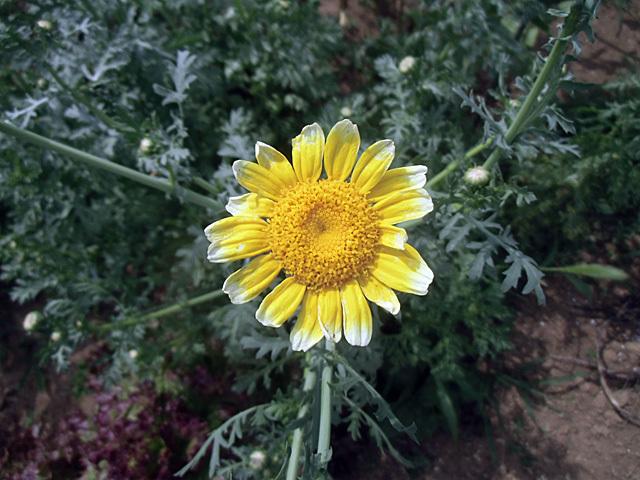 シュンギクの花