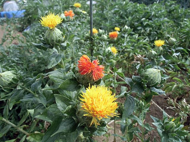 ベニバナの開花