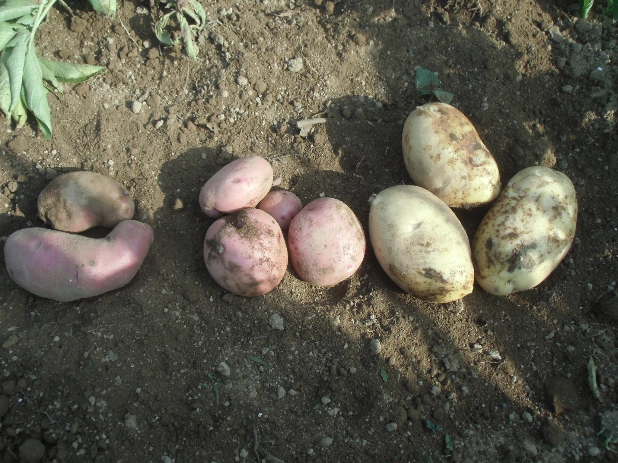 ジャガイモ三種