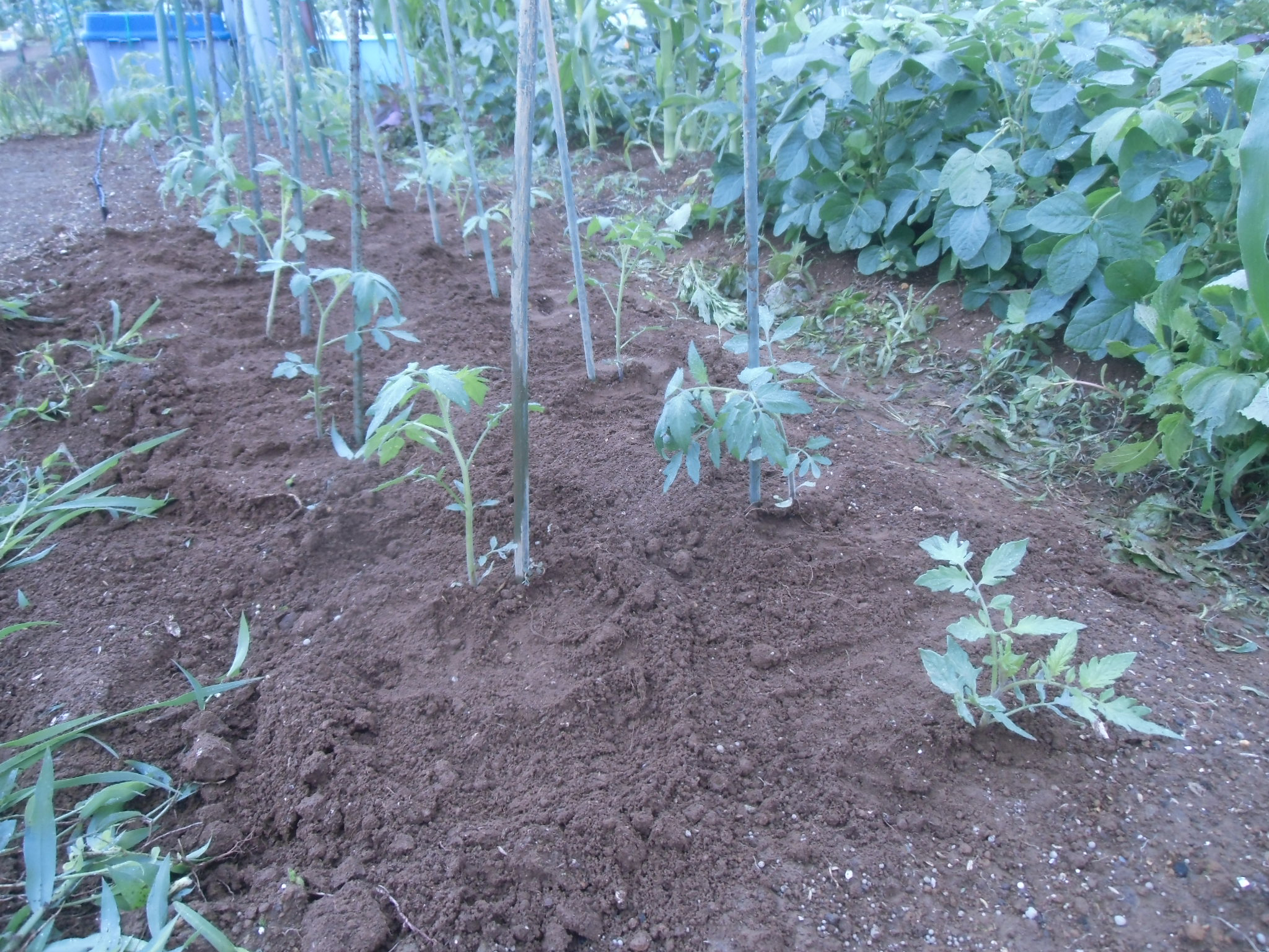 トマトの残りを植えました