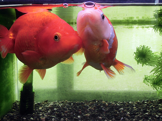えさをねだる金魚たち
