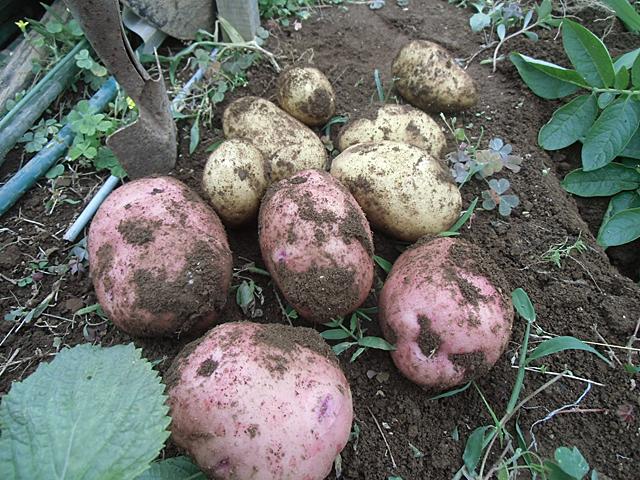 ジャガイモを少し掘りました