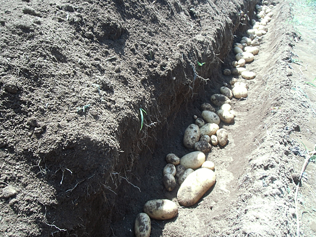 ジャガイモと一列掘りました