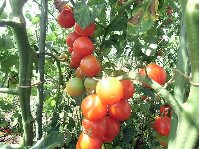 たわわのミニトマト