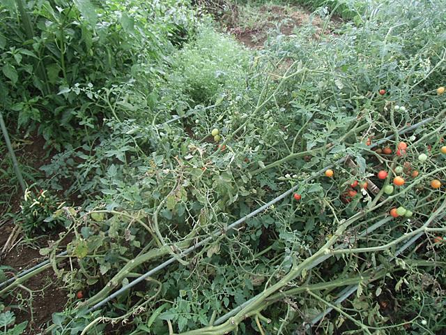 倒壊したミニトマト
