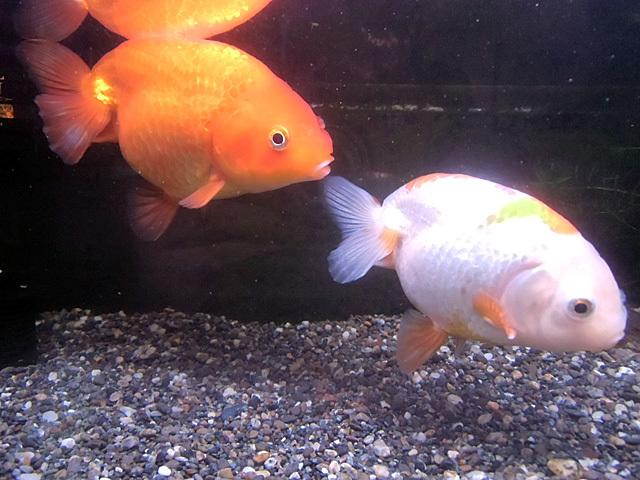 9月の金魚たち