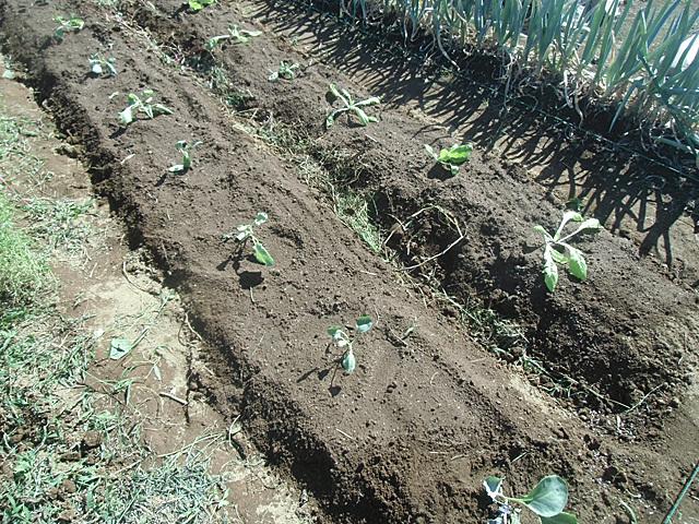 白菜キャベツを植えました