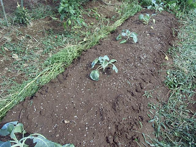 メキャベツを植えました
