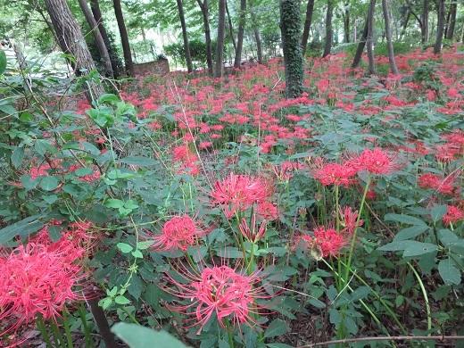 ヒガンバナ花盛り