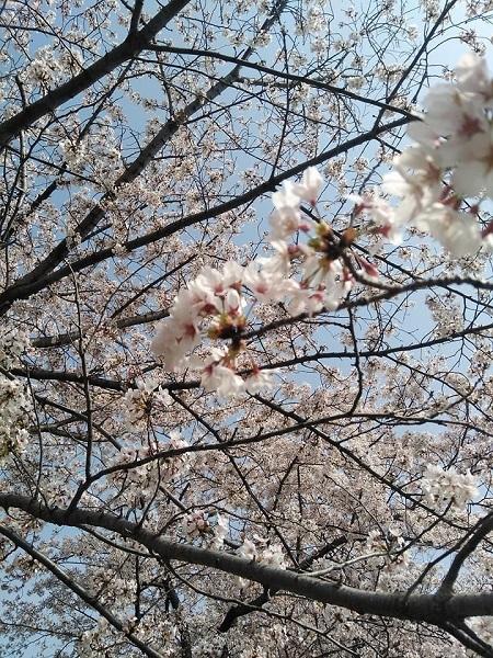0409桜1