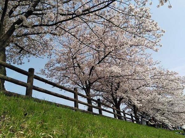 0409桜2