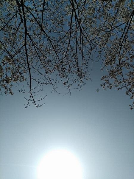 0409桜3