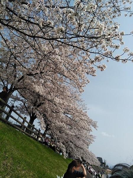 0409桜4