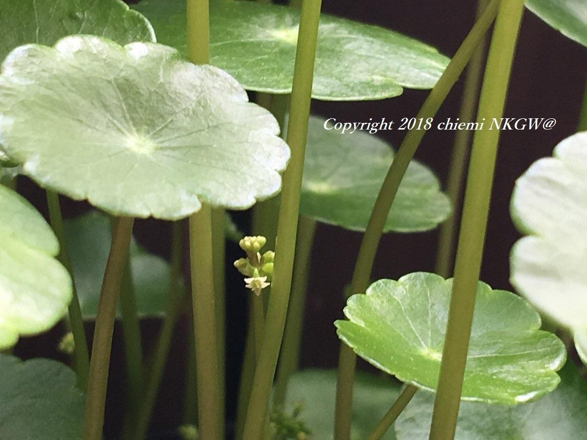 ミニマッシュルーム(Hydrocotyle vulgaris)