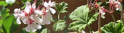 pelargonium_fragruns_nutmug.jpg