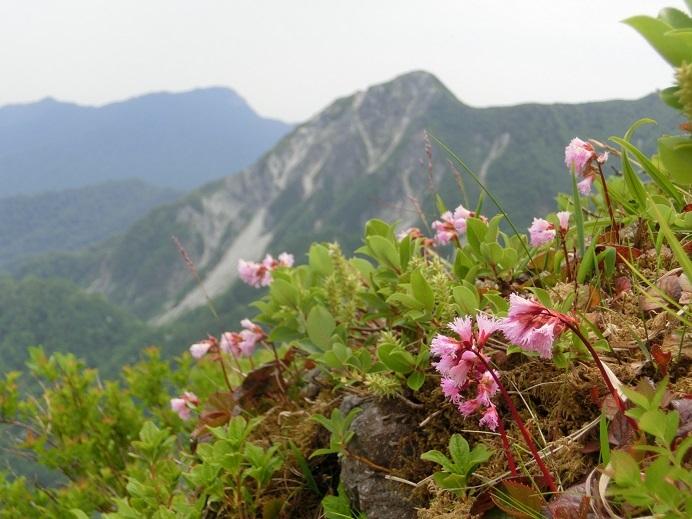 大山の高山植物4