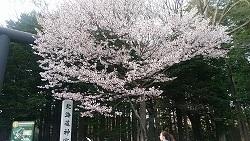 北海道神宮の桜2018
