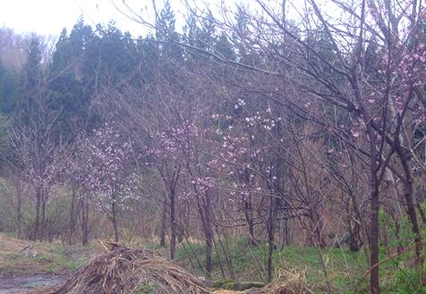 雨の中の山桜