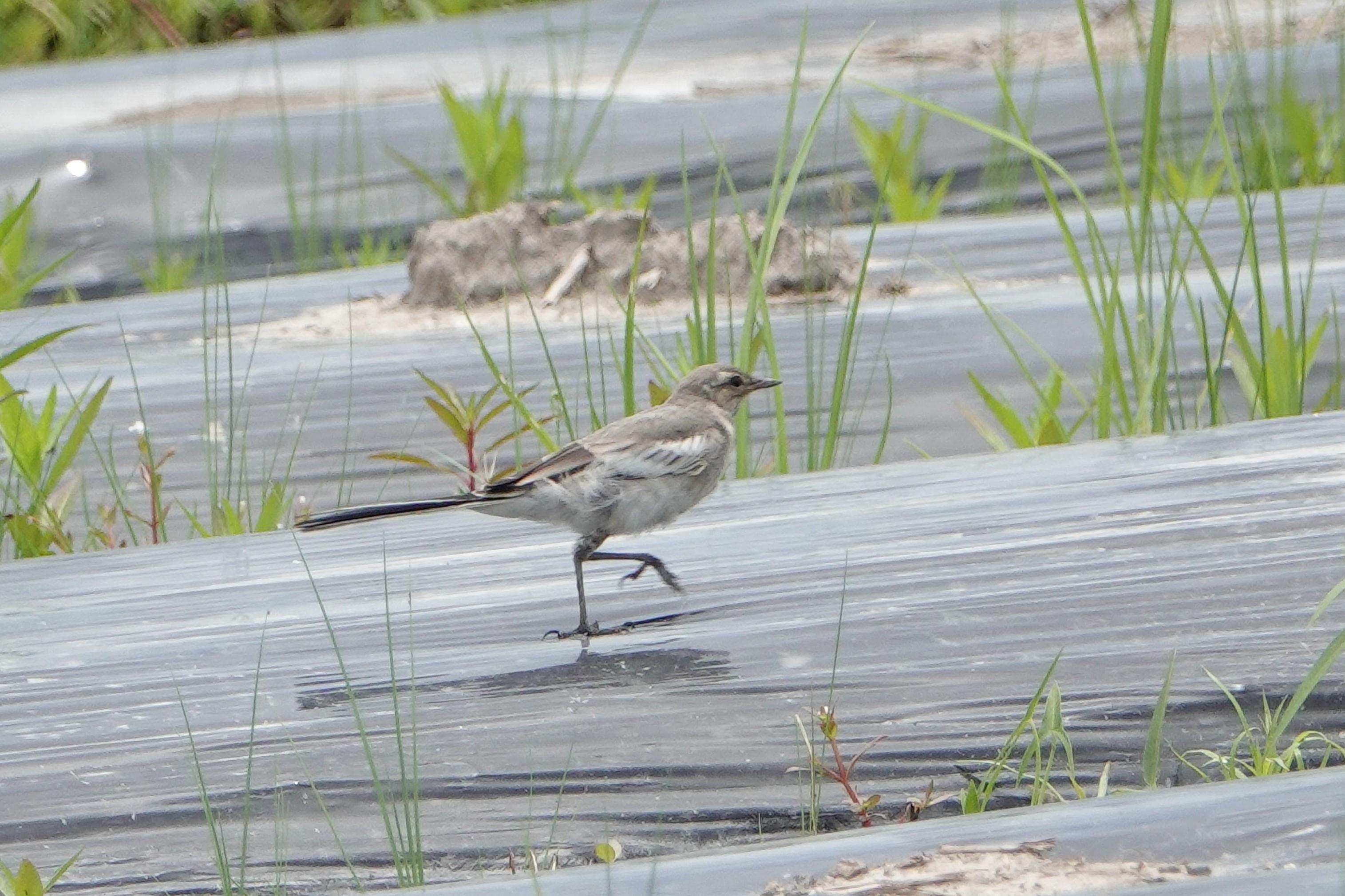 セグロセキレイの幼鳥2