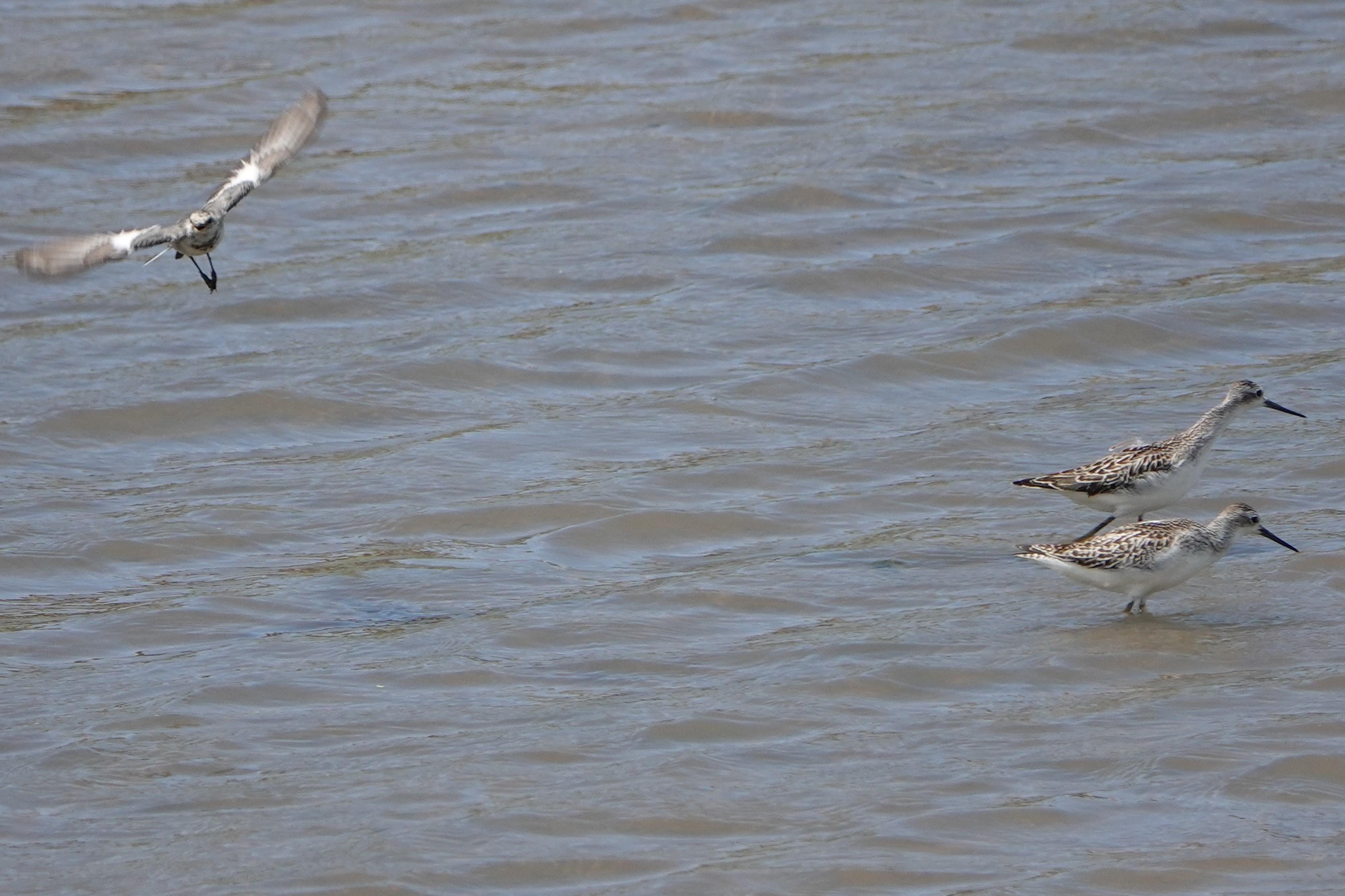 コアオアシシギ左の飛翔はわからず